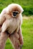 Gibbon Photographie stock libre de droits