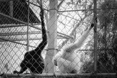 gibbon Fotos de Stock Royalty Free