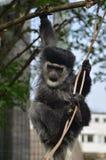 Gibbon Imágenes de archivo libres de regalías