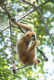 gibbon photographie stock