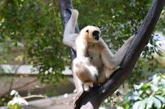 gibbon Lizenzfreies Stockbild