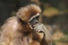 Gibbon stockbild