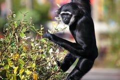 gibbon Στοκ Εικόνα