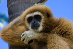 Gibbon. Wild gibbon in nature. Detail view stock images