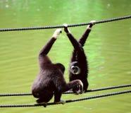 gibbon стоковые фотографии rf
