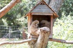 Gibbon Στοκ Φωτογραφίες