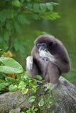 Gibbon-Affe Stockfotografie