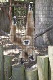 Gibbon-Affe Lizenzfreies Stockbild
