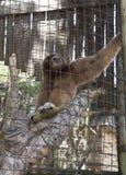 Gibbon-Affe Lizenzfreie Stockbilder