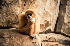 Gibbon-Affe Stockbild