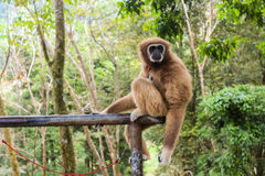 Gibbon-Affe Lizenzfreie Stockfotos