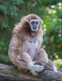 Gibbon-Affe allein am Zoo, der auf seiner Sitzniederlassung von drei Viertel sitzt lizenzfreies stockbild
