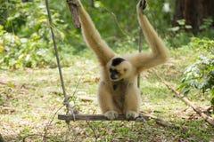 Gibbon-Affe, der auf Schwingen sitzt Stockbilder