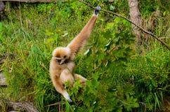 Gibbon-Affe, der an einer Niederlassung hängt Lizenzfreies Stockbild