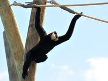 Gibbon-Affe, der zwei Seile hält Lizenzfreie Stockfotos