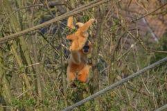 Gibbon-Affe mit einem Baby Lizenzfreies Stockfoto