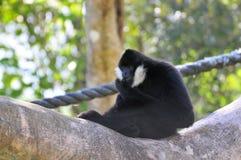 Gibbon-Affe (Nomascus) Stockfotos