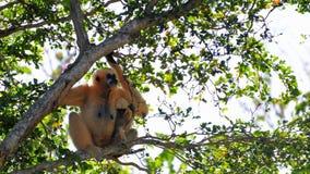 Gibbon-Affe (Nomascus) und ihr Baby Lizenzfreie Stockbilder