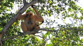 Gibbon-Affe (Nomascus) und ihre Junge Stockfotos