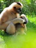 Gibbon-Affe u. -baby, die auf Gras sitzen Stockbilder