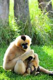 Gibbon-Affe u. -baby (vertikal) Stockfotos