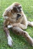 Gibbon-Affe und -baby Lizenzfreies Stockbild