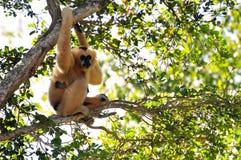 Gibbon-Affe und ihre Junge Lizenzfreies Stockfoto