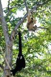 Gibbon-Affefamilie Stockbild
