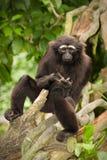 Gibbon agile Photographie stock libre de droits