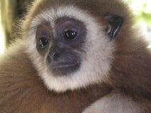 Gibbon amical Photo stock
