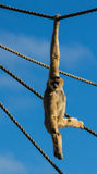 Gibbon apa Arkivfoto
