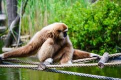 Gibbon apa Royaltyfria Bilder