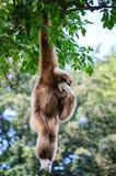 Gibbon apa Royaltyfri Bild