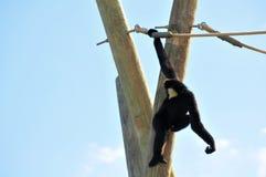 Gibbon apa (Nomascus) som hänger på rep Arkivbild