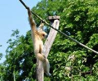 Gibbon apa på ett rep Royaltyfri Bild