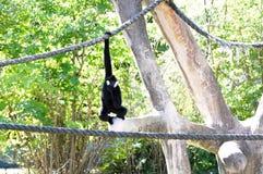 Gibbon apa som hänger på rep Arkivbild