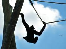 Gibbon apa som svänger på rep Arkivbilder