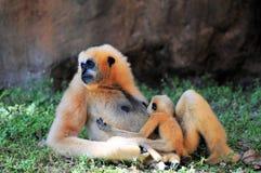 Gibbon apa som vårdar hennes barn Arkivbild
