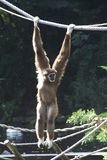 Gibbon ape. Male, light brown, gibbon ape hanging from a rope (lesser apes royalty free stock photo