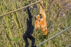 Gibbon Ape With A Baby Royalty Free Stock Photos