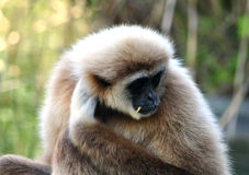 Gibbon ape Stock Images