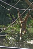Gibbon apes playing. A black and a brown gibbon ape swinging from ropes over water stock photos