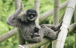 Gibbon argenté femelle avec l'petit animal photographie stock libre de droits