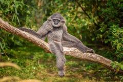 Gibbon argenté (moloch de Hylobates) Photo stock