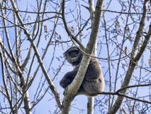 Gibbon argenté rare masculin, moloch de Hylobates, se reposant sur un arbre Photo libre de droits