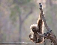 Gibbon łasowania melon Fotografia Royalty Free