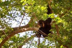 Gibbon auf Baum Stockfotos