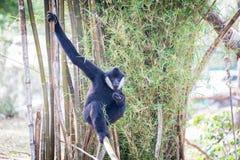 Gibbon auf der Niederlassung (Weiß--cheeked Gibbon) Stockfoto