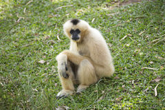 Gibbon auf grünem Gras Lizenzfreies Stockfoto