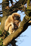Gibbon with babay in the tree Stock Photos